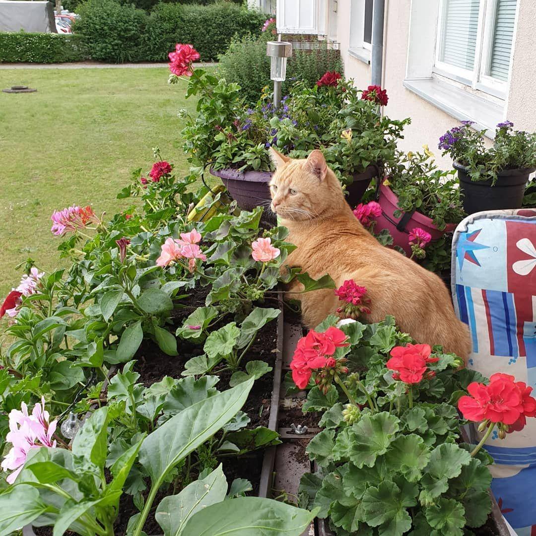 Paddy Manuelasbuntewelt Bloggen Roterkater Tierheimwolfsburg Katze Flowers Instablogger Animals Cat Roter Kater Katzen Instagram