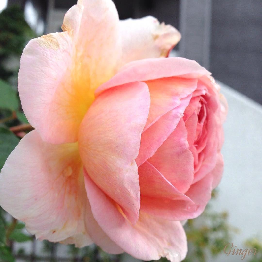 """""""ダービーさんの横顔… #rose#roses#gerden#flower#flowers#flowerstagram #loves_flowers_ #eye4flowers#fabulous_roses #instgardeners_feature…"""""""