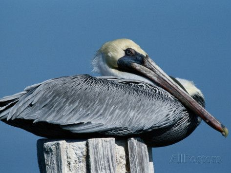 A Brown Pelican Resting on a Post Photographic Print by George Grall at AllPosters.com