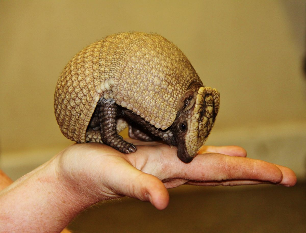 Rare Armadillo Born at Longleat Cute animals list