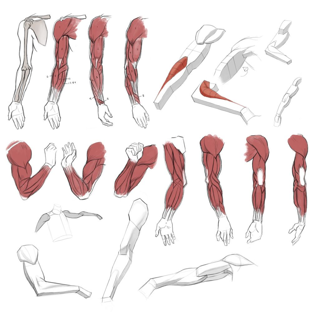 Name: studyarms01.jpg Views: 2052 Size: 223.8 KB | Anatomy ...
