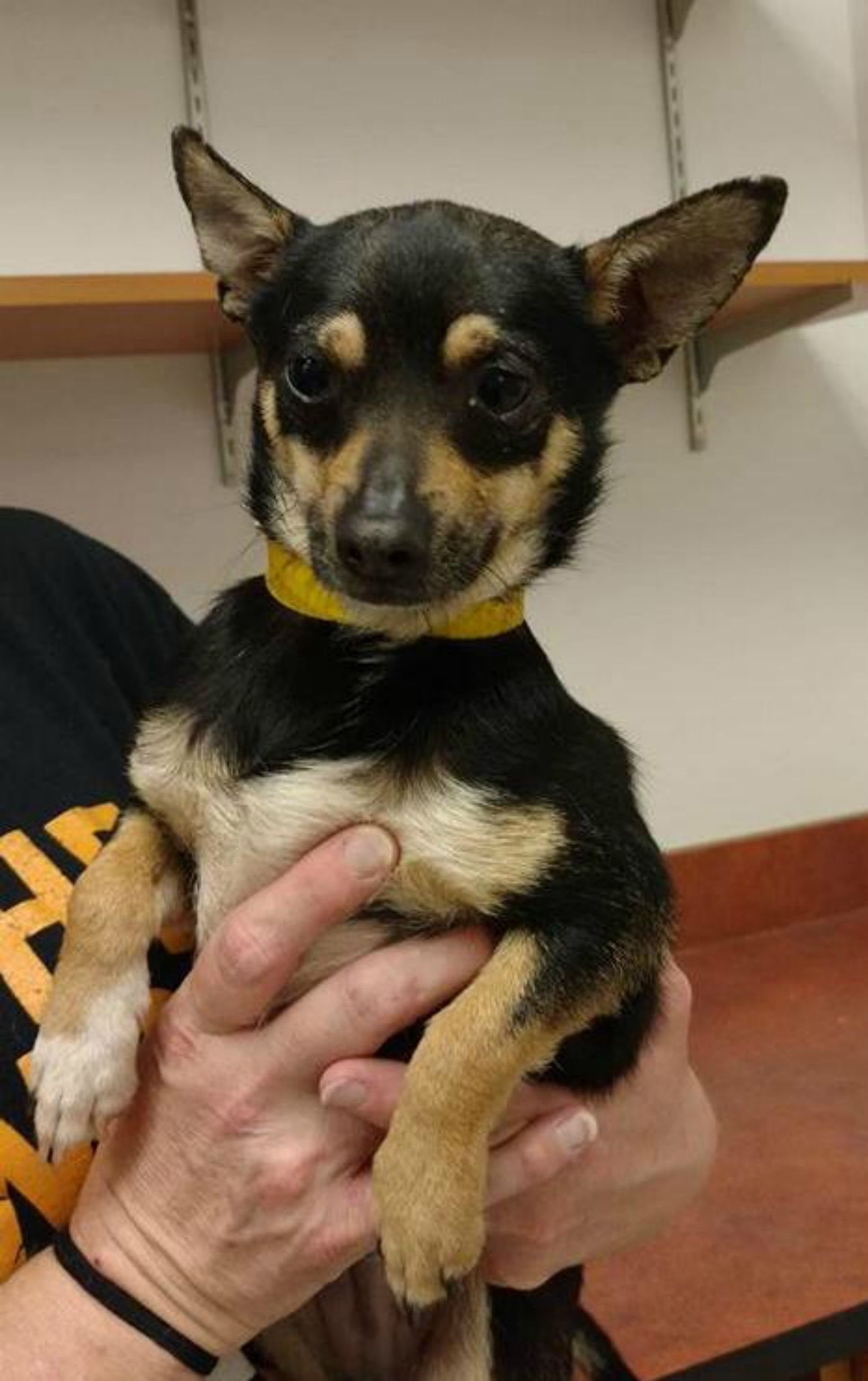 Tristan Is A Tri Colored Chihuahua Who Weighs 7 Pounds And Is 2