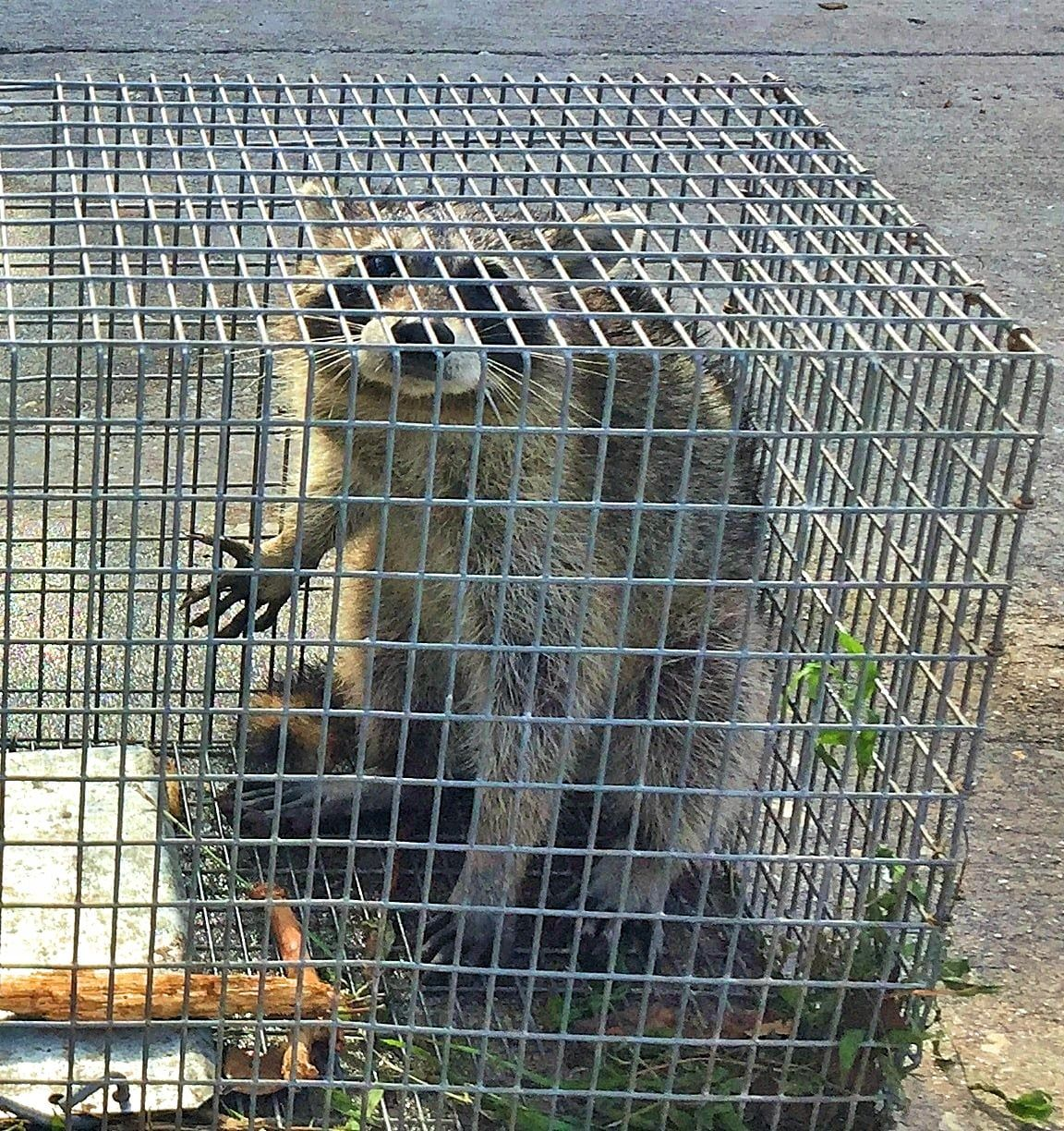Master Services Removes Wildlife From Chimneys And Attics Schedule Your Appointment To Remove Wildlife From Your Chimney In 2020 With Images Wildlife How To Remove Animal Control
