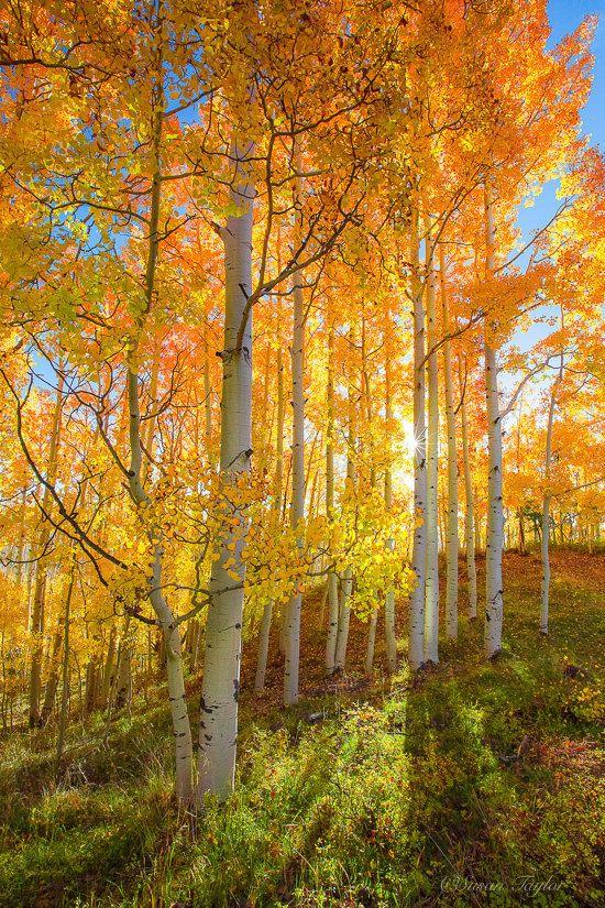 Utah Photography, Oversized Fall Wall Art, Golden Aspen Trees, Autumn Colors, Yellow Blue, Mountain Print, Large Wall Art, Fall Wall Decor #autumnscenery
