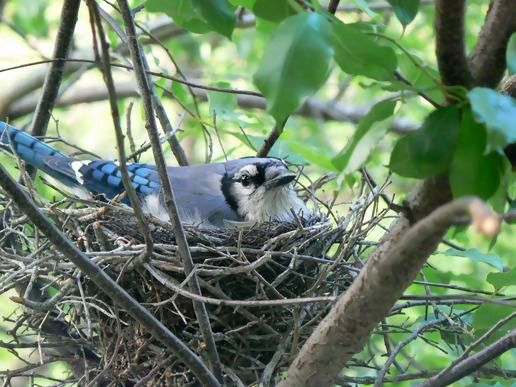 Image result for blue jay nest
