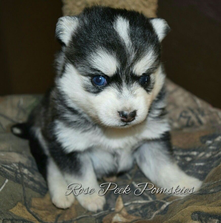 Mini Husky This Is Called A Pomsky Bred By Rose Peek Pomskies