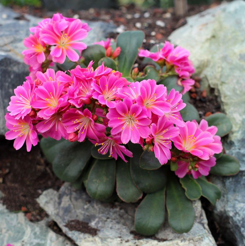 Lewisia cotyledon magenta plant information pinterest for Garden plant information