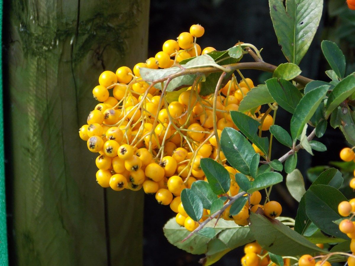 Pyracantha Soleil D Or Golden Sun Plants Botanical Growing