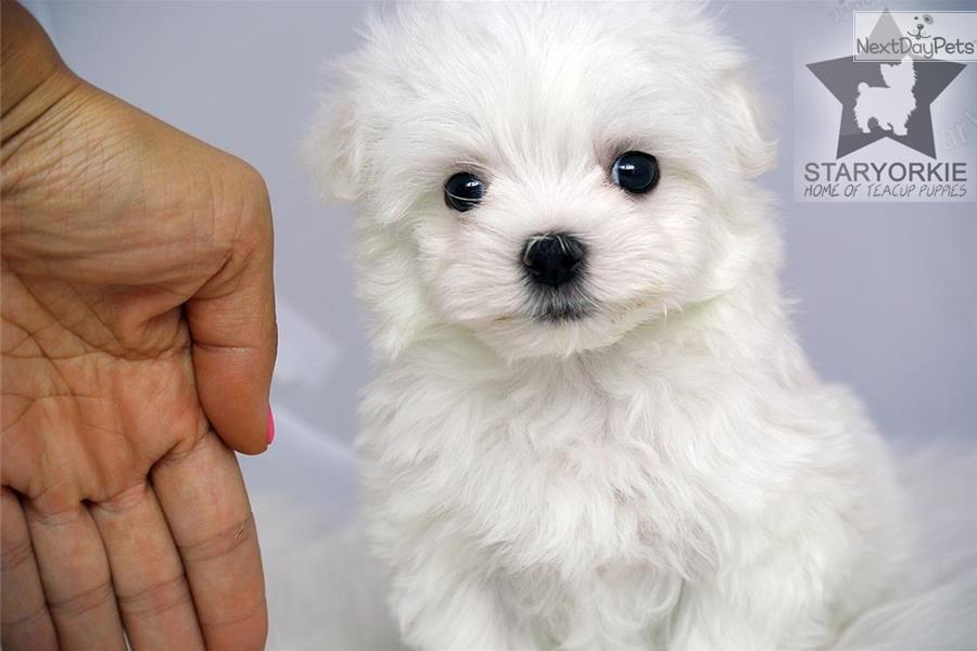 Meet Santiago A Cute Maltese Puppy For Sale For 1 700 Teacup