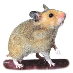 Short Haired Hamster Petsmart