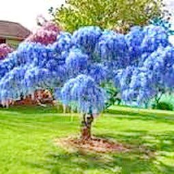 Chinese Blue Wisteria