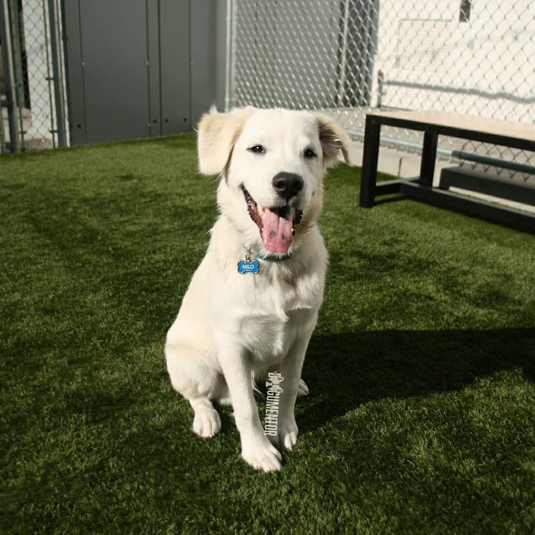 Milo Great Pyrenees Mix 5 M O Quartyard His Best Friend Is A Shiba Inu So Their Nicknames Are The Fox And T Great Pyrenees Shiba Inu Labrador Retriever
