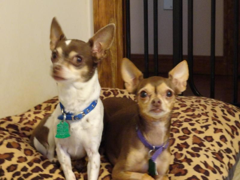 Adopt Coco And Taco On Baby Chihuahua Chihuahua Dogs Chihuahua