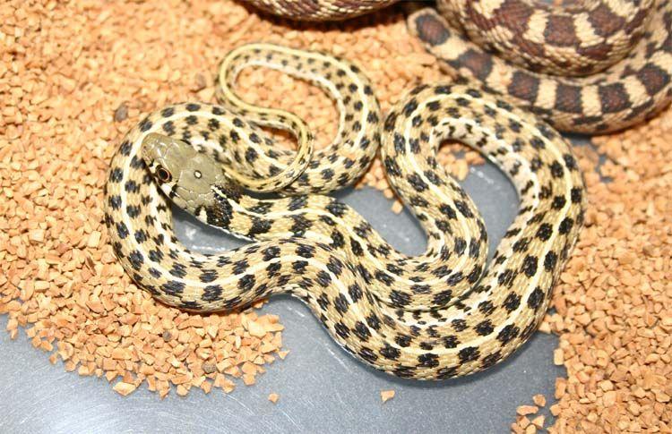 Checkered garter snake! | Snake Morphs | Snake, Reptiles