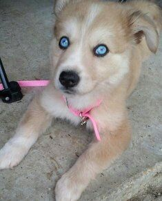 Another Pinner Wrote Bleu Husky Lab Mix My Baby With