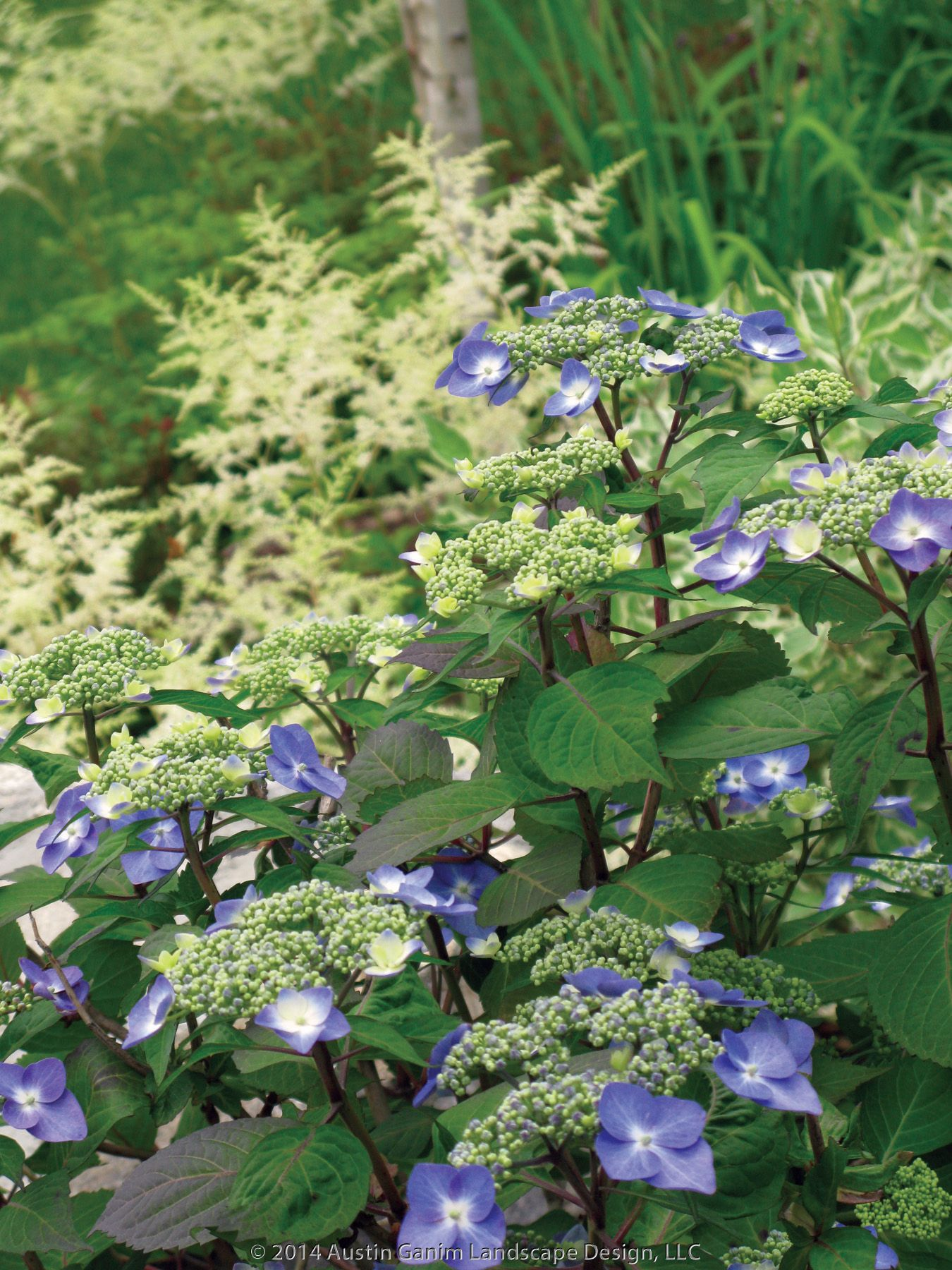 The Red Stems And Blue Flowers Midnight Dutchess Lacecap Hydrangea Standout Against White Flowering Perennial Astilbe