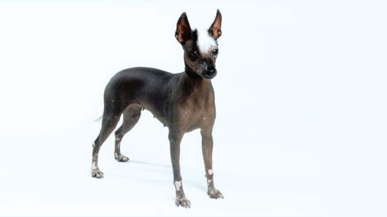30 Small Hypoallergenic Dogs That Don T Shed Barking Royalty Dog Breeds That Dont Shed Dog Breeds Puppies That Dont Shed