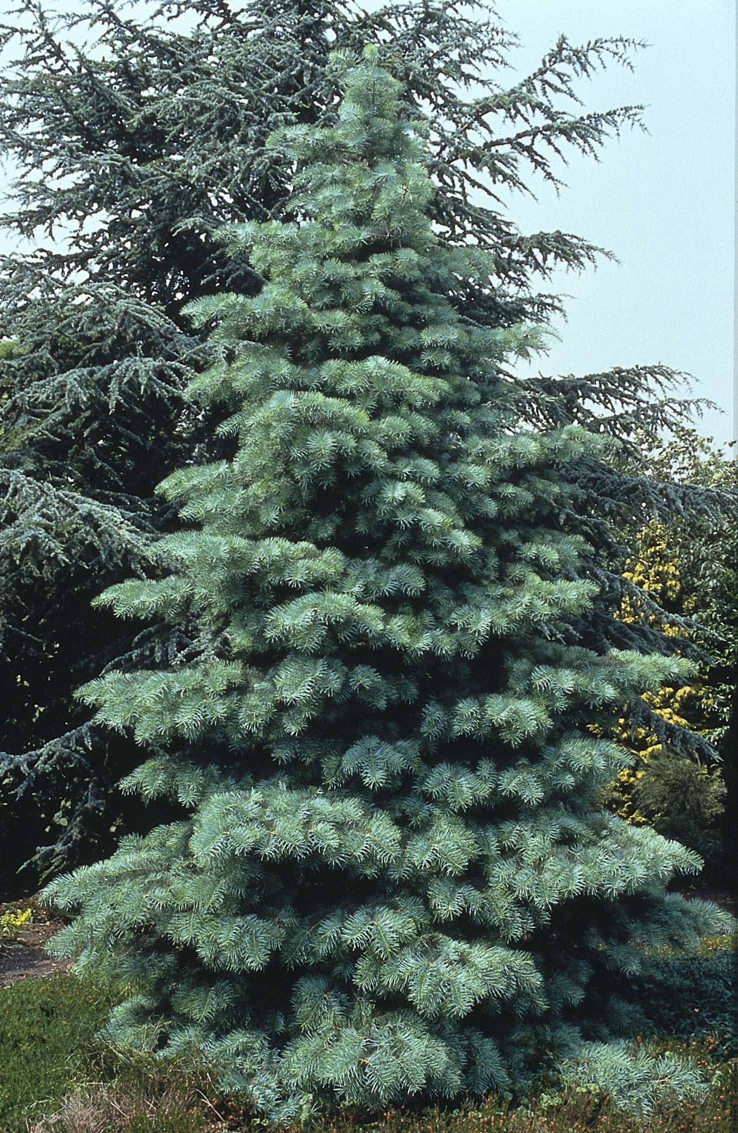 White Fir Abies Concolor Beautiful Soft Foliage Ks Cedar