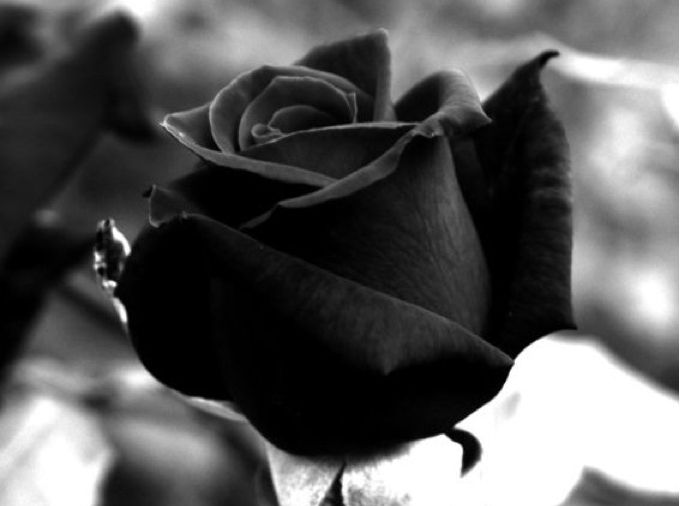 meaning Black rose