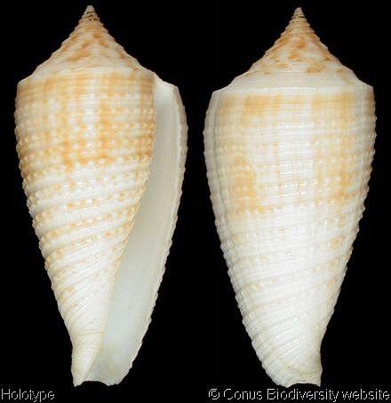 Conus_asiaticus_holotype.jpg