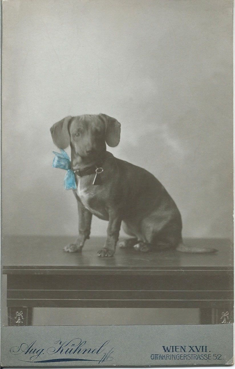 C 1900 Cabinet Card Of Dachshund With Hand Tinted Blue Bow Photo