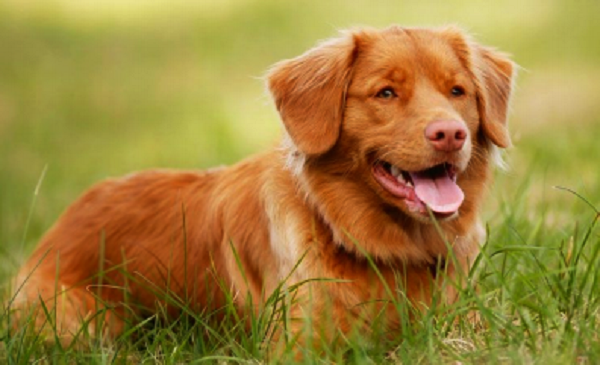novascotiaducktollingretriever puppirs temperament