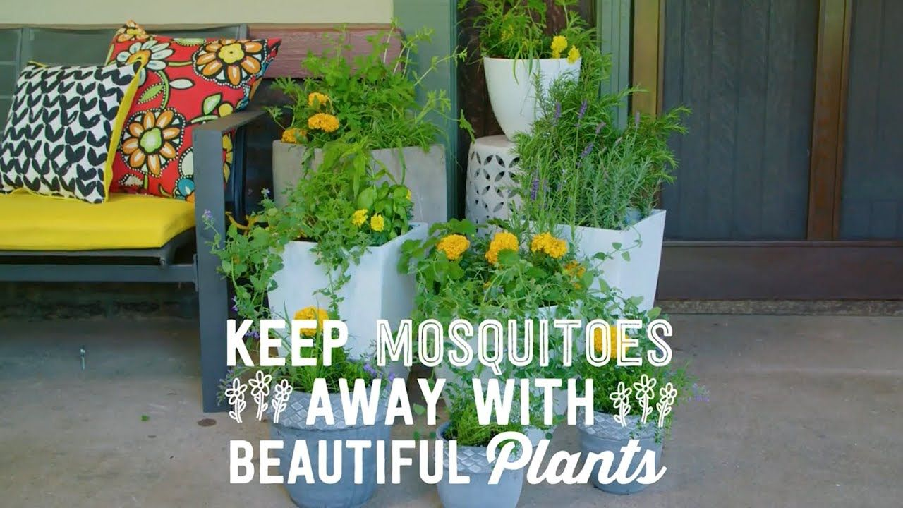 9 Plants That Repel Mosquitoes - Way to Grow - HGTV - YouTube #plantsthatrepelmosquitoes