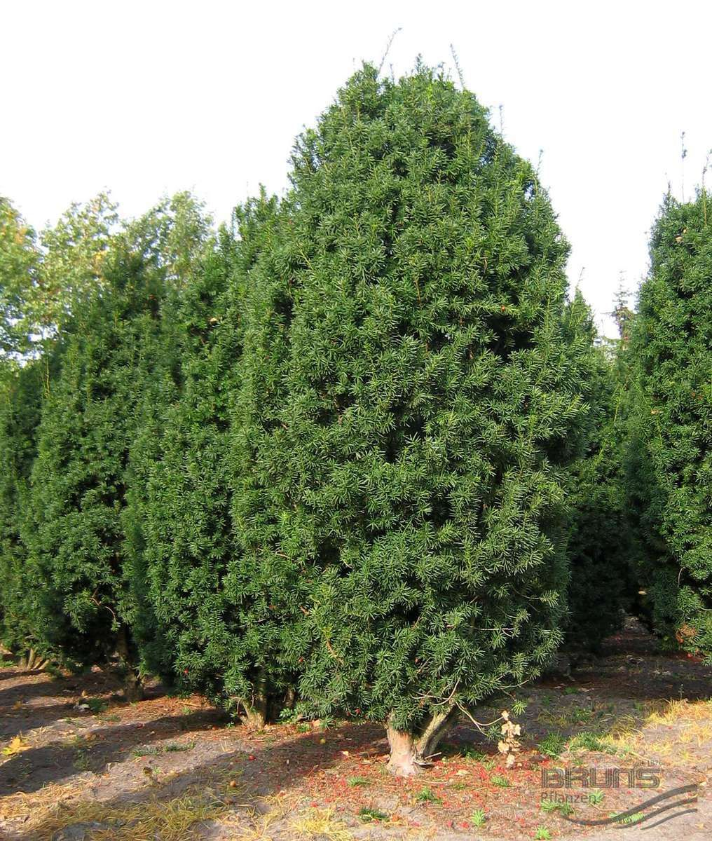 Evergreen Pflanzen taxus x media hicksii pflanzen null bruns site williamson