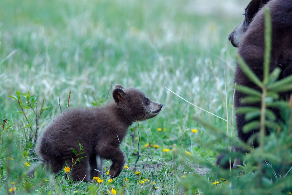 Black bear cub looking at it's mother in Cades Cove