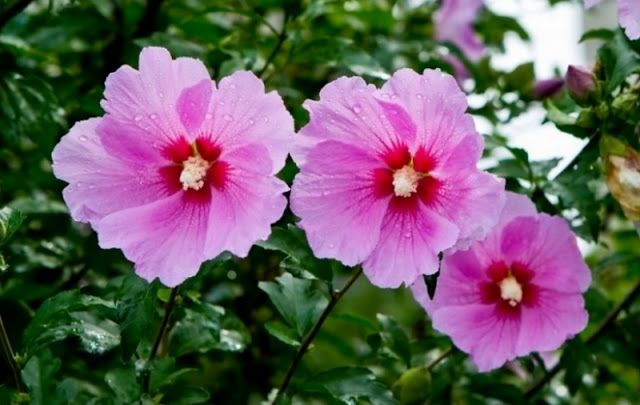 무궁화 Rose Of Sharon National Flower Of Korea Korean Food