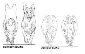 Resultado de imagen para anatomia de perro ovejero aleman