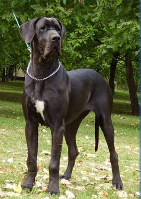 Deense Dog Dane Puppies Great Dane Dane Dog