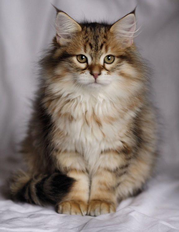 Cat Breeders Mn Snowyhaven Birmans Birman Cat Cats Cat Breeder
