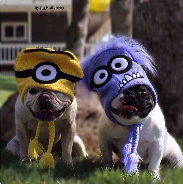 """""""Behold! My Minions!"""", French Bulldogs in Costume. Cute"""