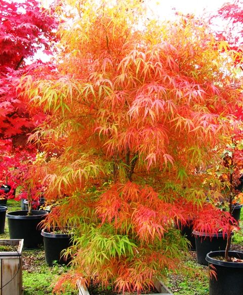 Koto No Ito Japanese Maple 4 5 High 3 4 Wide Long Strap Like Green Leaves Turn Bright Yellow In The Fall H Japanese Maple Tree Japanese Garden Plants
