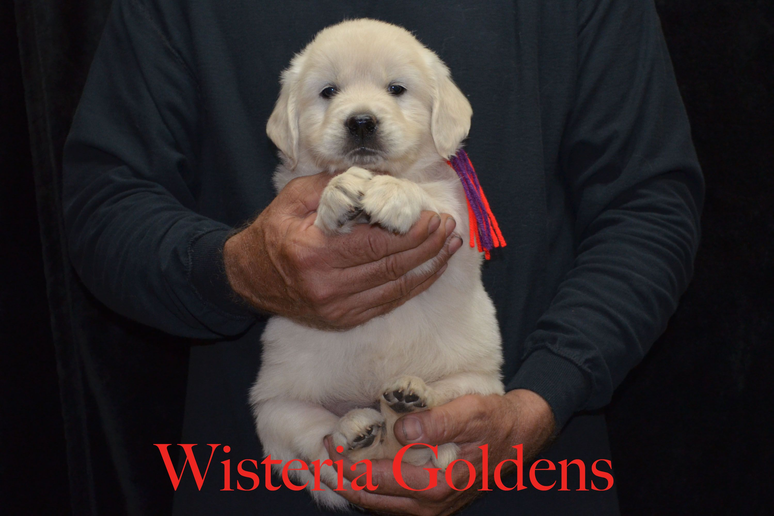 English Cream Golden Retriever Puppies For Sale Honor Available