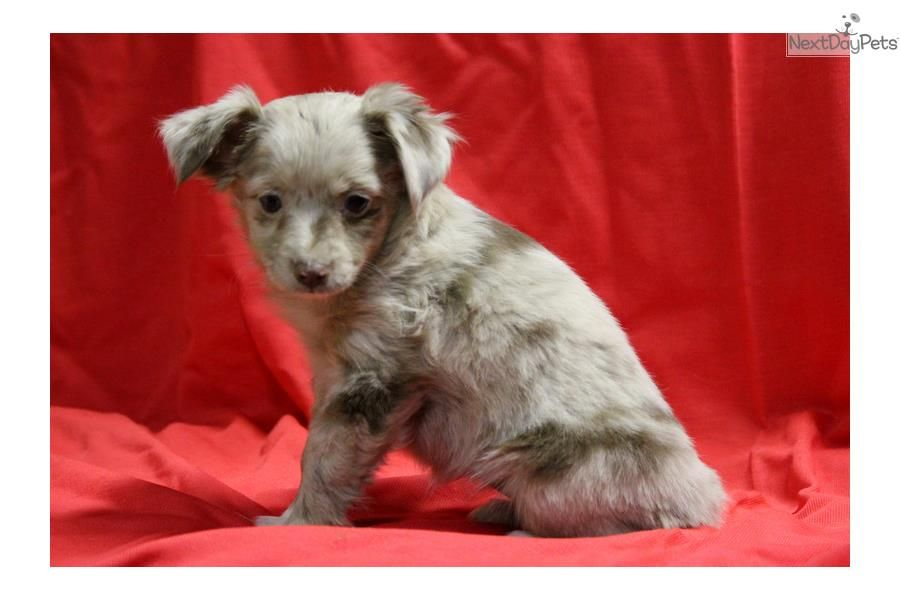 Toy Australian Shepherd Puppies For Sale In Texas References