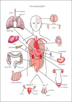 Free    Diagrams       Human       Body      system in the    human       body      The