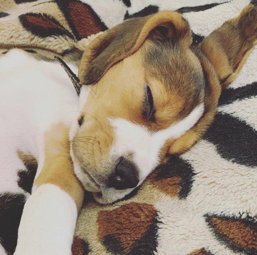 100 Beagle Male Dog Names Beagle Dog Dog Names Beagle