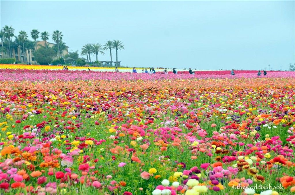 Colors of the Carlsbad Flower Fields Travel Carlsbad flower