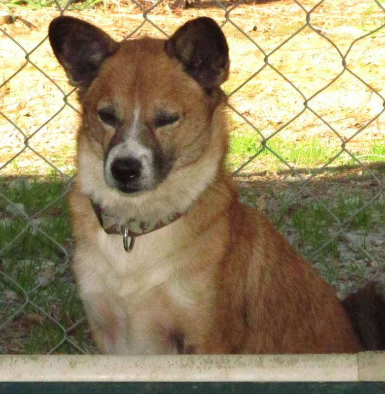 Terrier Mix, Female, About 3 1/2 years old, Lee County