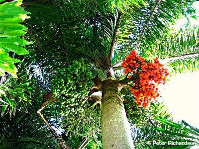Queen Palm, Palmera silvestre, Coquinho, Jandira, Brazil