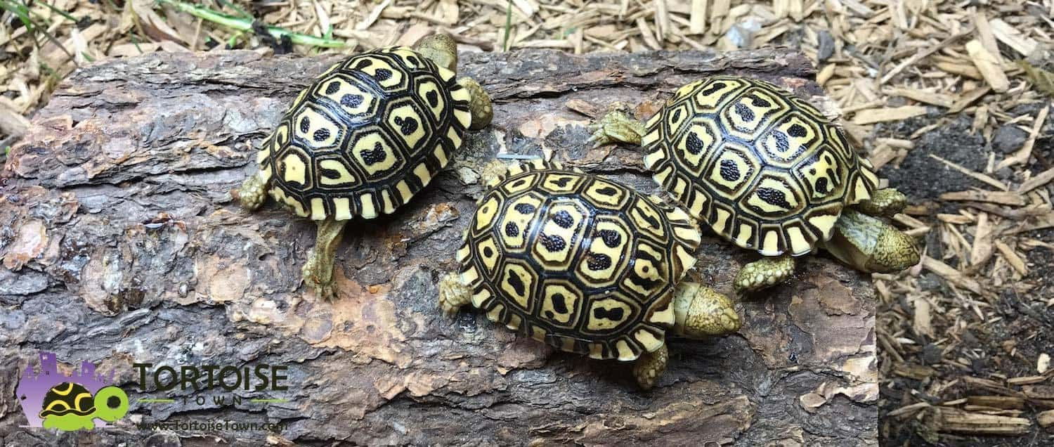 Giant South African Leopard Tortoise For Sale Pardalis Pardalis For Sale Buy Leopard Tortoise Tortoises Tortoise Care