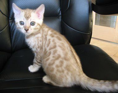 Seal Mink Spotted Bengal Kitten This Is What My New Boy Looks Like Bengal Cat Asian Leopard Cat