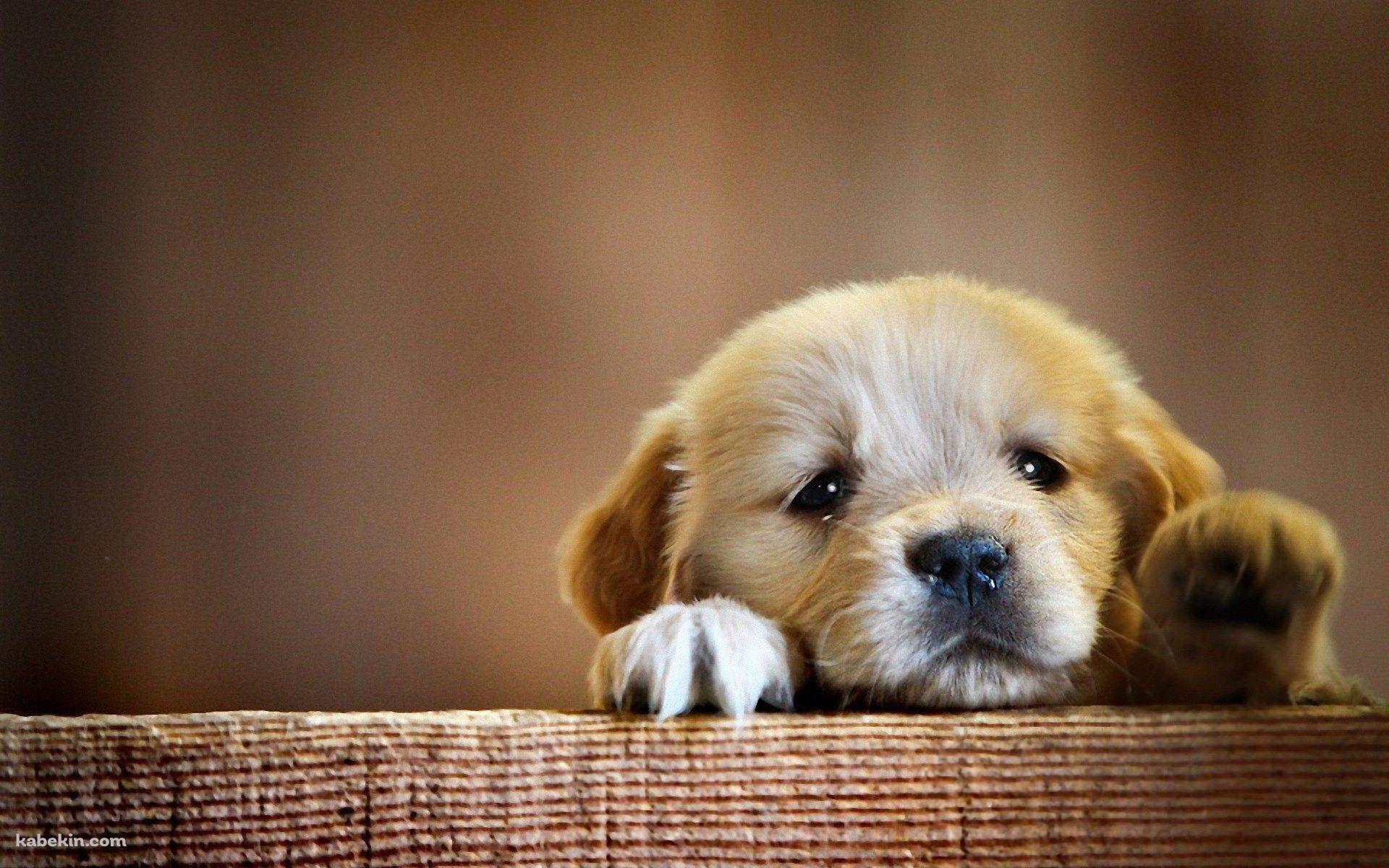 壁にもたれる茶色い子犬 1920 X 1200 の壁紙 壁紙キングダム Pc デスクトップ版 かわいい動物の赤ちゃん 可愛いワンちゃん 犬の写真