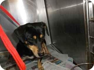 Douglasville Ga Rat Terrier Dachshund Mix Meet Tobie A Dog For