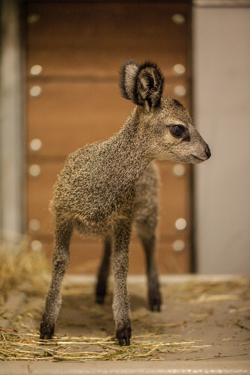 adorable baby klipspringer born at the Lincoln Park Zoo. totem inspiration!