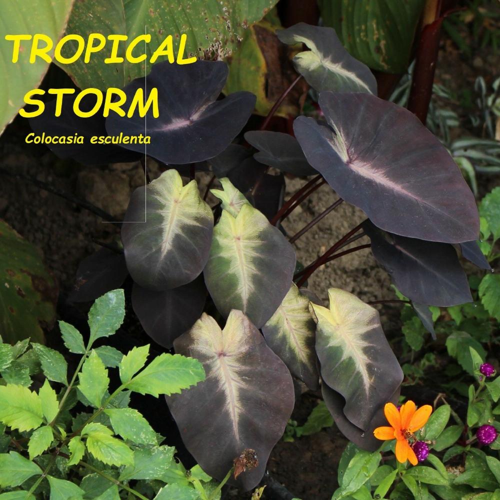 Tropical Storm COLOCASIA esculenta LIVE PLANT ELEPHANT EAR