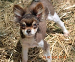 I Found Ripley Innh On Chihuahua Dogs Animals Dogs