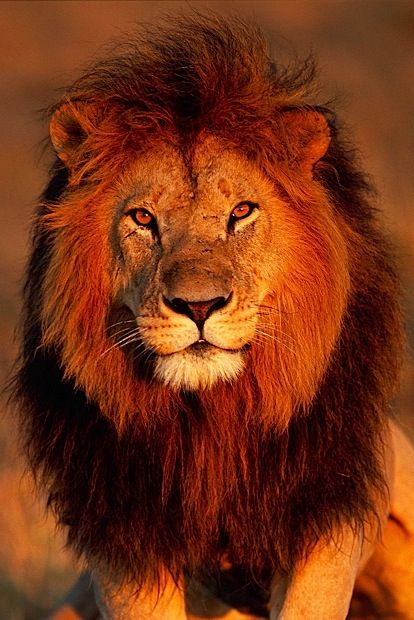 Tumblr African Cats African Lion Lion